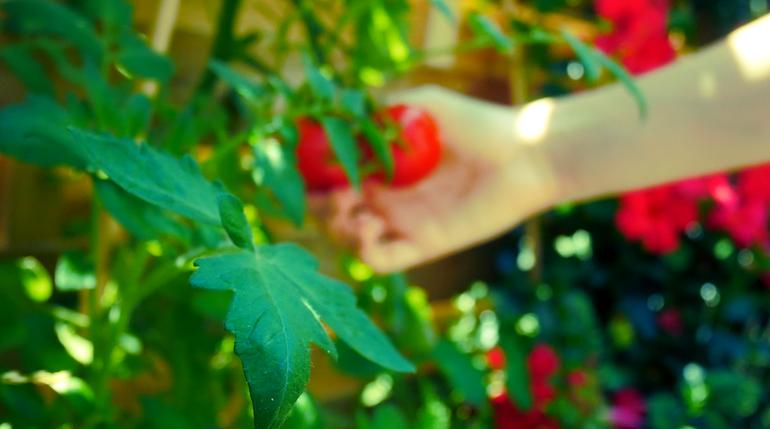 13.00 Uhr: Tomaten pflücken Foto Schüler*in des Projektes ©MiK
