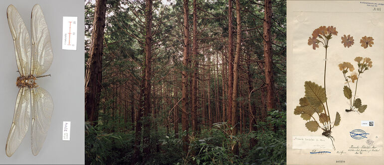106 Motooka Shimizu, Fukushima, Libelle und Japanische Primel, Courtesy, NBC Leiden Foto und ©deJongKnoth C-Print
