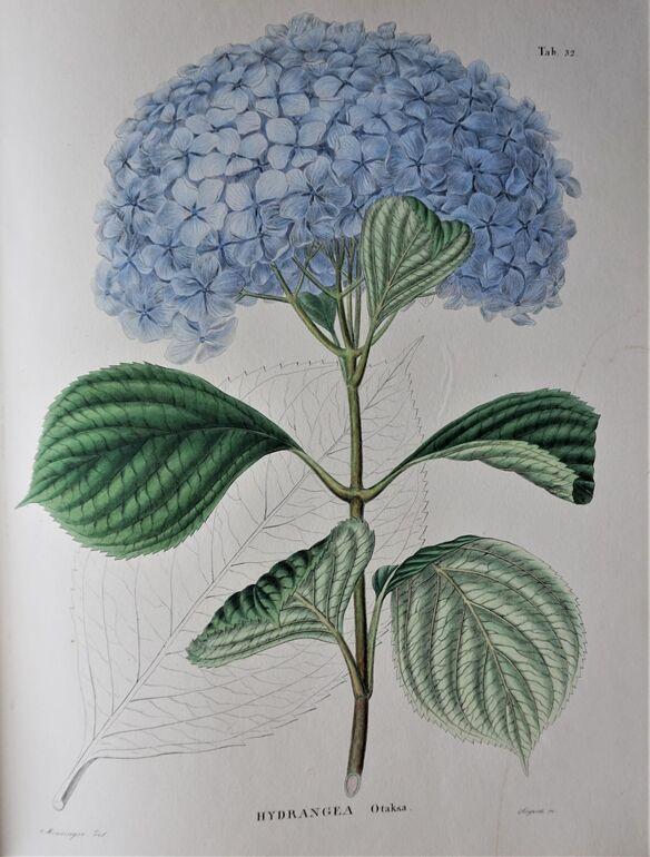 108 Flora Japonica, Otaksa Tafel 52