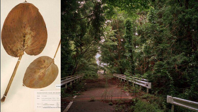 109 Motooka Shimizu, Fukushima, Hosta Sieboldiana, Courtesy NBC Leiden Foto und ©deJongKnoth C-Print 02klein