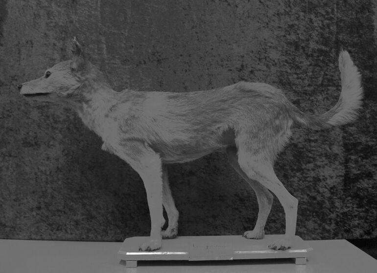 113 Japanischer Wolf, aus dem Besitz von P. von Siebold, Courtesy Naturalis Biodiversity Center Leiden